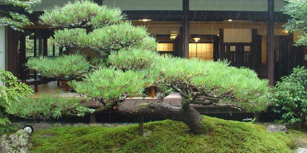 beautiful Japanese tree